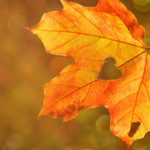 oak leaf autumn in woolacombe