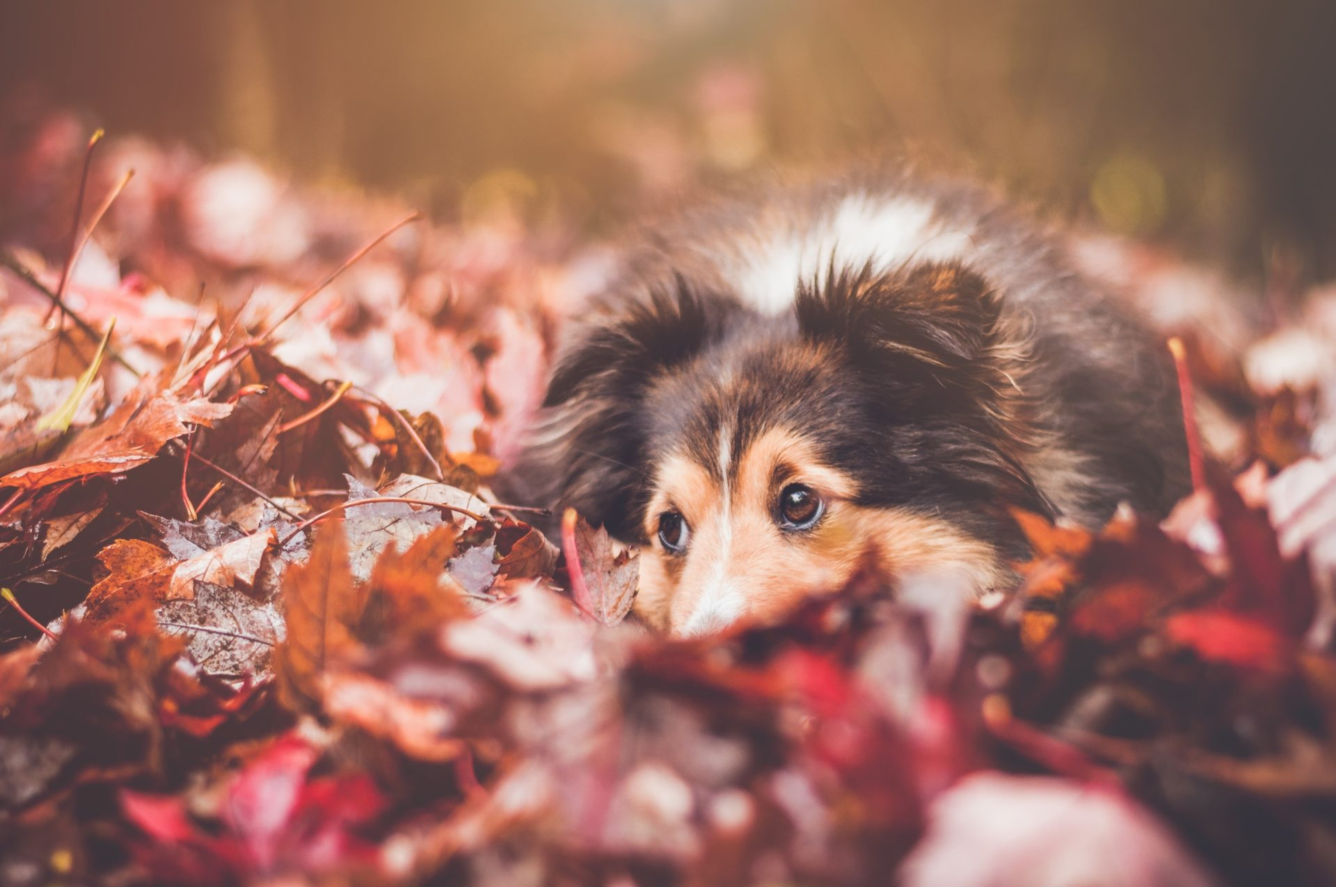 Dog in leaves in Autumn