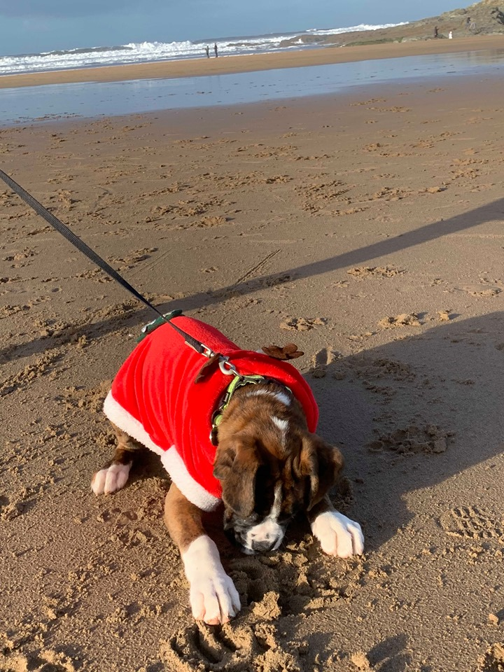Woolacombe Holidays on the Beach with Poppy the Boxer Dog